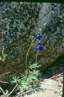 Delphinium nuttallianum