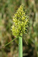 Carex stipata