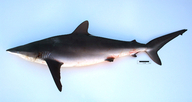 Carcharhinus falciformis