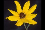 Helianthus petiolaris ssp. canescens