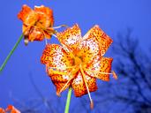 Lilium humboldtii ssp. humboldtii