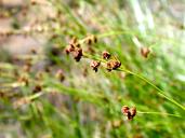 Rhynchospora californica
