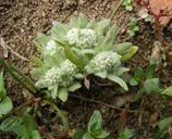 Psilocarphus brevissimus var. brevissimus
