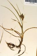 Carex saliniformis