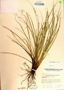 Carex tompkinsii