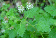 Phacelia malvifolia