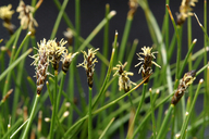 Carex filifolia var. erostrata