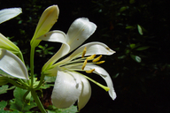 Lilium washingtonianum ssp. washingtonianum