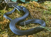 Coluber constrictor foxi