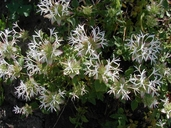 Monardella nana ssp. leptosiphon
