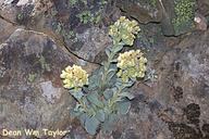 Sedum obtusatum ssp. paradisum