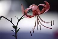 Lilium sp.