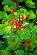 Cultivated Currant