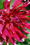 Cultivated Dahlia