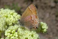 Callophrys gryneus nelsoni