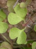 Pterostegia drymarioides