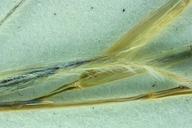 Achnatherum occidentale ssp. occidentale