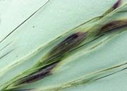Achnatherum thurberianum
