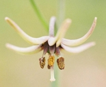 Fritillaria brandegeei
