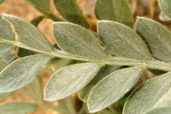 Astragalus lentiginosus var. micans
