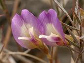 Astragalus panamintensis