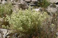 Lepidium fremontii