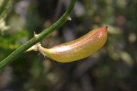 Astragalus pachypus