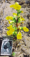 Vandenberg Monkeyflower