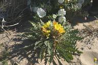 Oenothera primiveris ssp. bufonis
