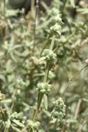Buddleja utahensis