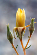 Mentzelia oreophila