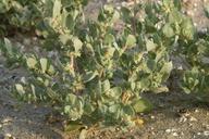 Atriplex truncata
