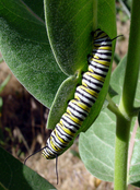 Monarch (caterpillar)