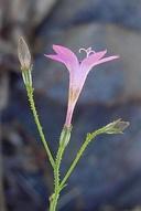 Saltugilia splendens ssp. splendens