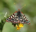 Euphydryas chalcedona hennei
