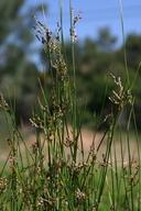 Juncus balticus