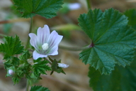 Malva neglecta