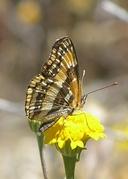 Chlosyne californica