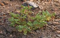 Astragalus lentiginosus var. lentiginosus
