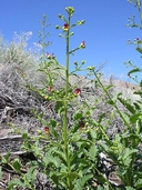 Scrophularia desertorum