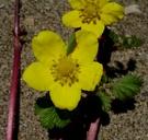 Potentilla anserina ssp. pacifica