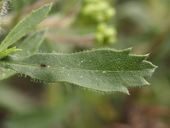 Hazardia squarrosa var. obtusa