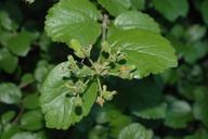 Viburnum ellipticum