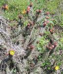 Cylindropuntia californica
