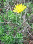 Heterotheca sessiliflora ssp. sessiliflora