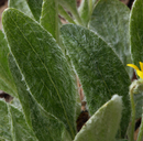 Viola tomentosa