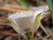 Calochortus coeruleus