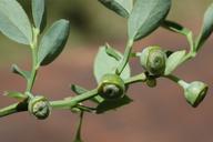 Vaccinium shastense ssp. nevadense