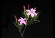 Dianthus armeria ssp. armeria