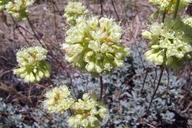 Eriogonum prattenianum